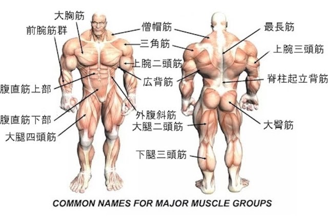 筋肉の名称の画像